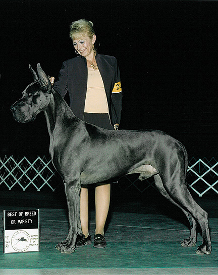 What Are Great Danes Bred For Sharcon Great Danes